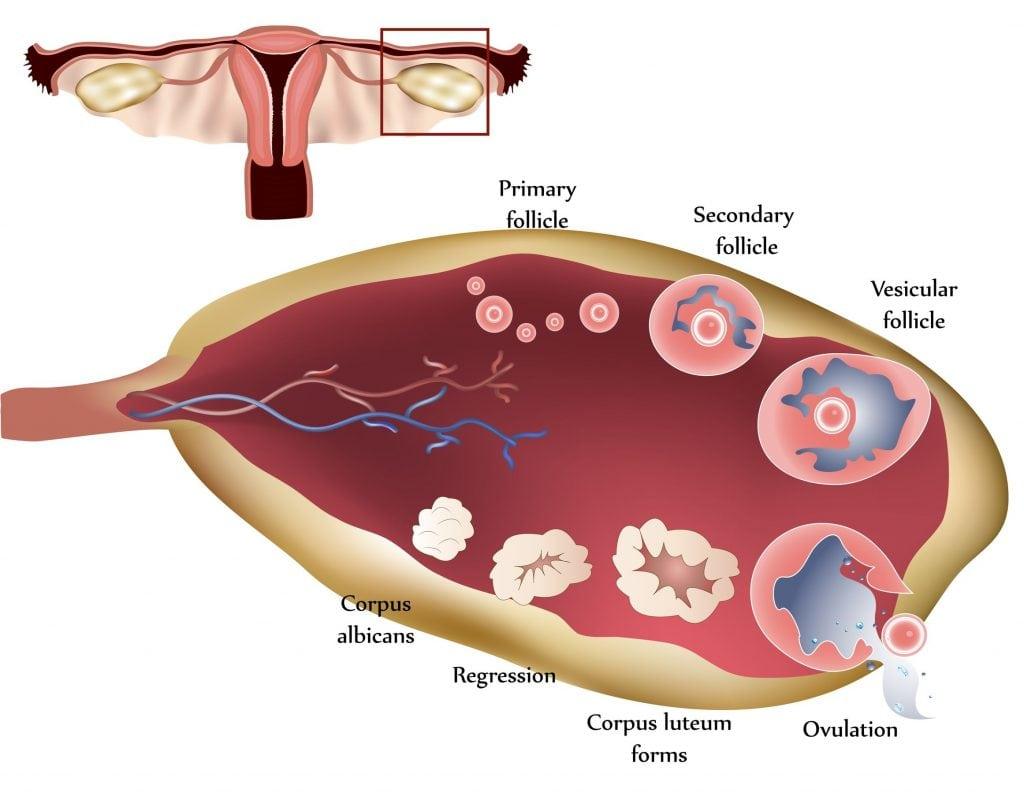 השחלה ותהליך הביוץ